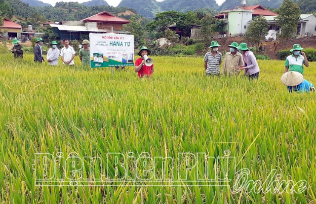 Tủa Chùa thử nghiệm mô hình giống lúa mới cho năng suất cao